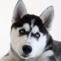 Husky Dog Headshot